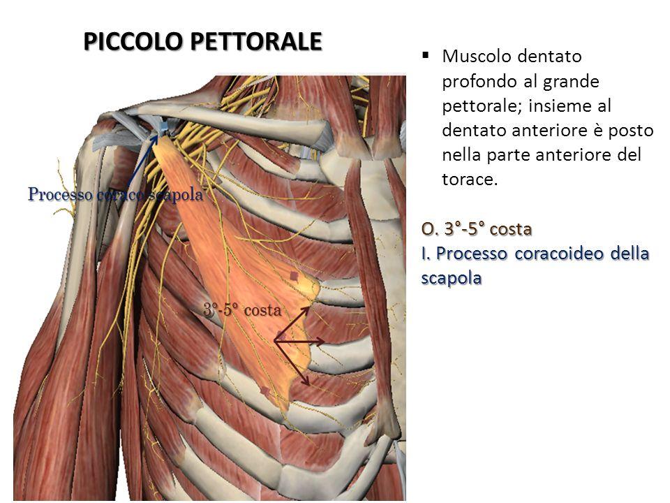 PICCOLO PETTORALE Muscolo dentato profondo al grande pettorale; insieme al dentato anteriore è posto nella parte anteriore del torace. O. 3°-5° costa
