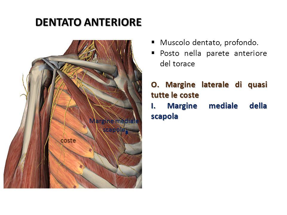 coste Margine mediale scapola DENTATO ANTERIORE Muscolo dentato, profondo. Posto nella parete anteriore del torace O. Margine laterale di quasi tutte