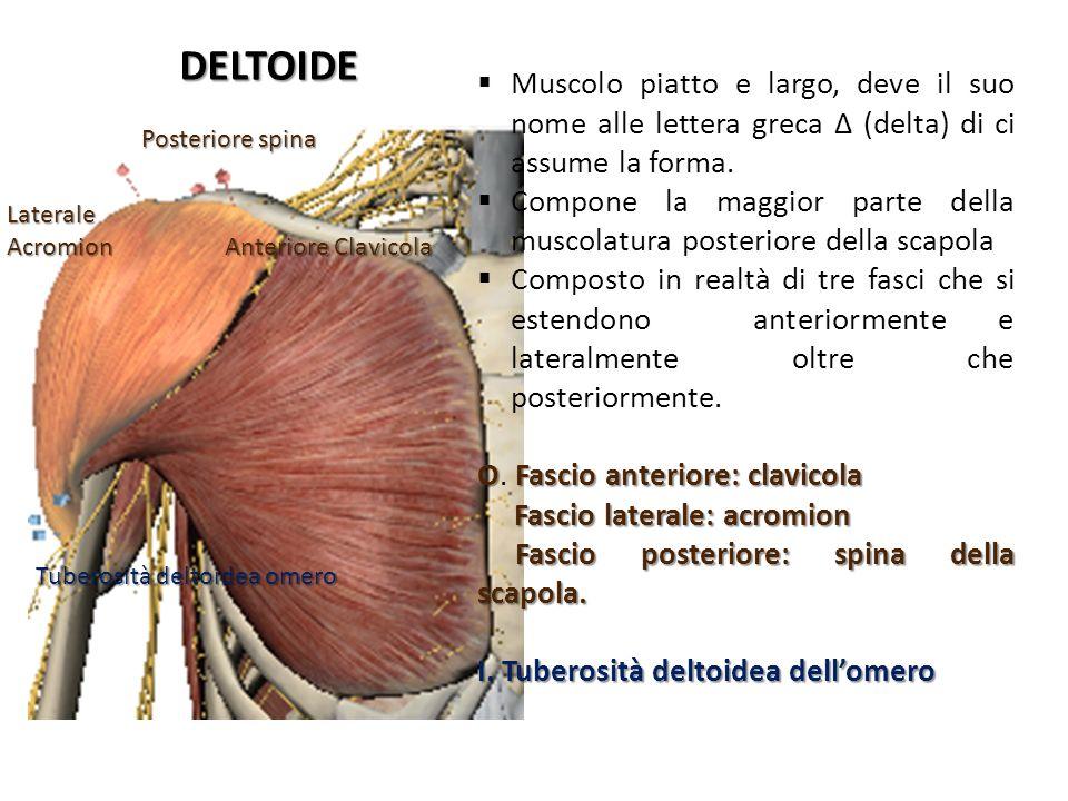 DELTOIDE Anteriore Clavicola Laterale Acromion Posteriore spina Tuberosità deltoidea omero Muscolo piatto e largo, deve il suo nome alle lettera greca