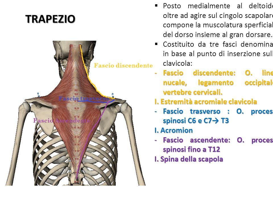 TRAPEZIO Posto medialmente al deltoide, oltre ad agire sul cingolo scapolare, compone la muscolatura sperficiale del dorso insieme al gran dorsare. Co