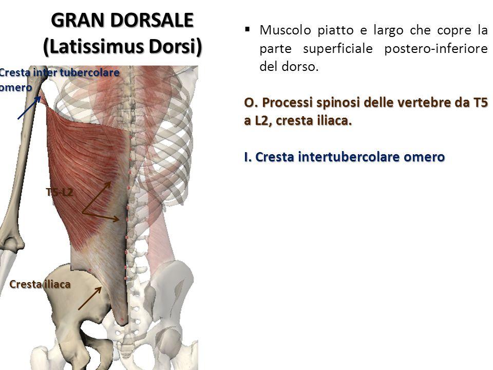 GRAN DORSALE (Latissimus Dorsi) Cresta inter tubercolare omero T5-L2 Cresta iliaca Muscolo piatto e largo che copre la parte superficiale postero-infe