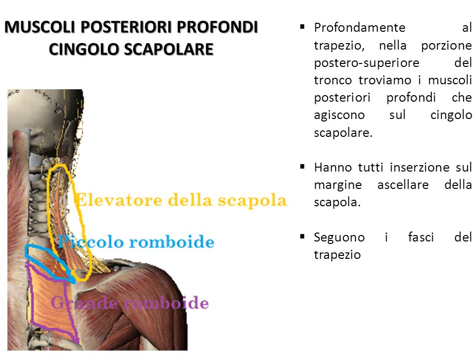 MUSCOLI POSTERIORI PROFONDI CINGOLO SCAPOLARE Profondamente al trapezio, nella porzione postero-superiore del tronco troviamo i muscoli posteriori pro