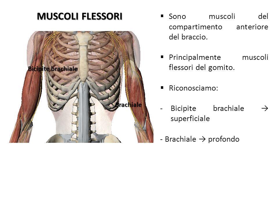 MUSCOLI FLESSORI Bicipite brachiale Brachiale Sono muscoli del compartimento anteriore del braccio. Principalmente muscoli flessori del gomito. Ricono