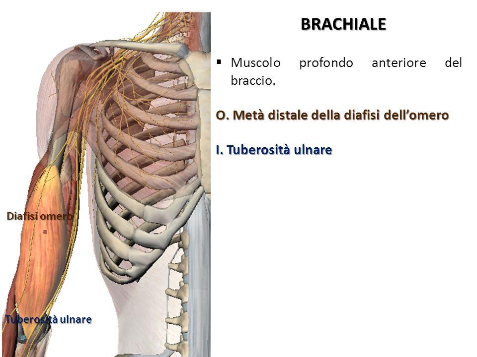 BRACHIALE Diafisi omero Tuberosità ulnare Muscolo profondo anteriore del braccio. O. Metà distale della diafisi dellomero I. Tuberosità ulnare