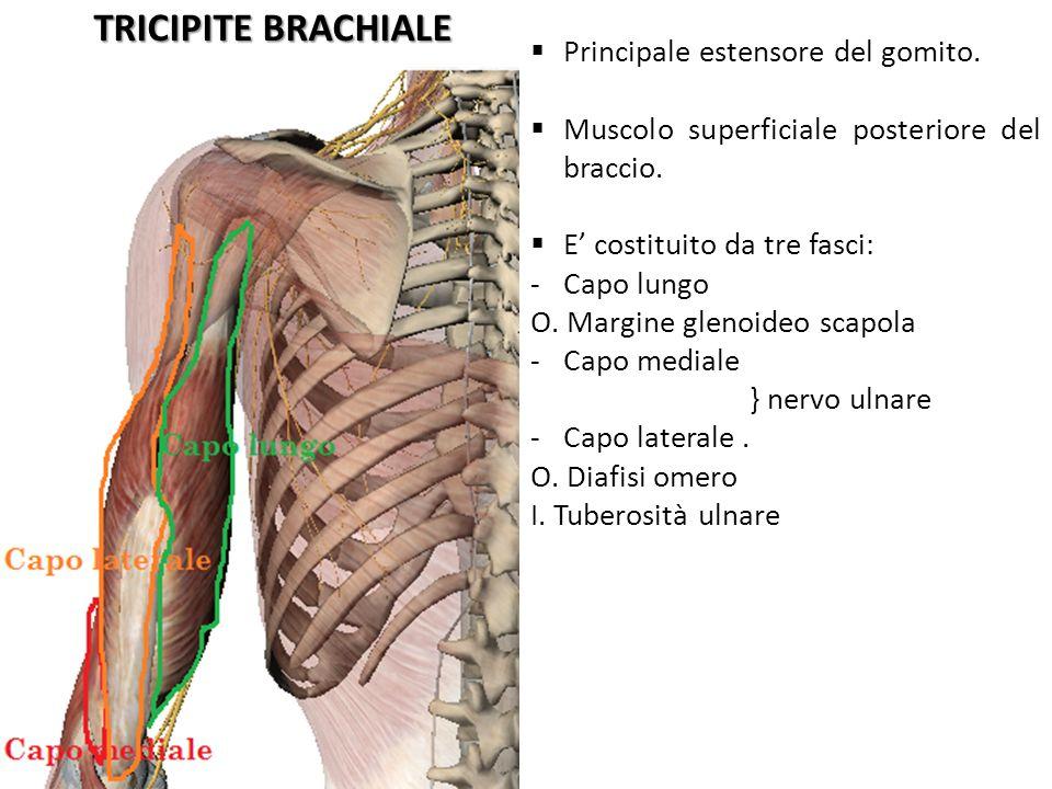 TRICIPITE BRACHIALE Principale estensore del gomito. Muscolo superficiale posteriore del braccio. E costituito da tre fasci: -Capo lungo O. Margine gl