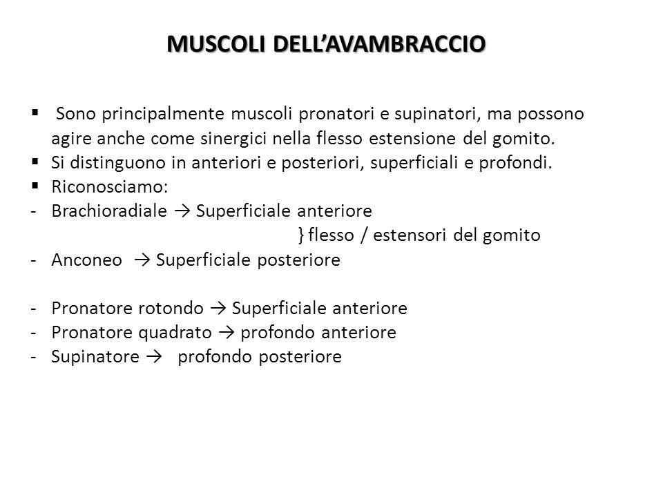 MUSCOLI DELLAVAMBRACCIO Sono principalmente muscoli pronatori e supinatori, ma possono agire anche come sinergici nella flesso estensione del gomito.