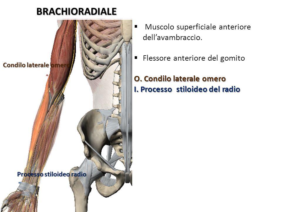 BRACHIORADIALE Condilo laterale omero Processo stiloideo radio Muscolo superficiale anteriore dellavambraccio. Flessore anteriore del gomito O. Condil