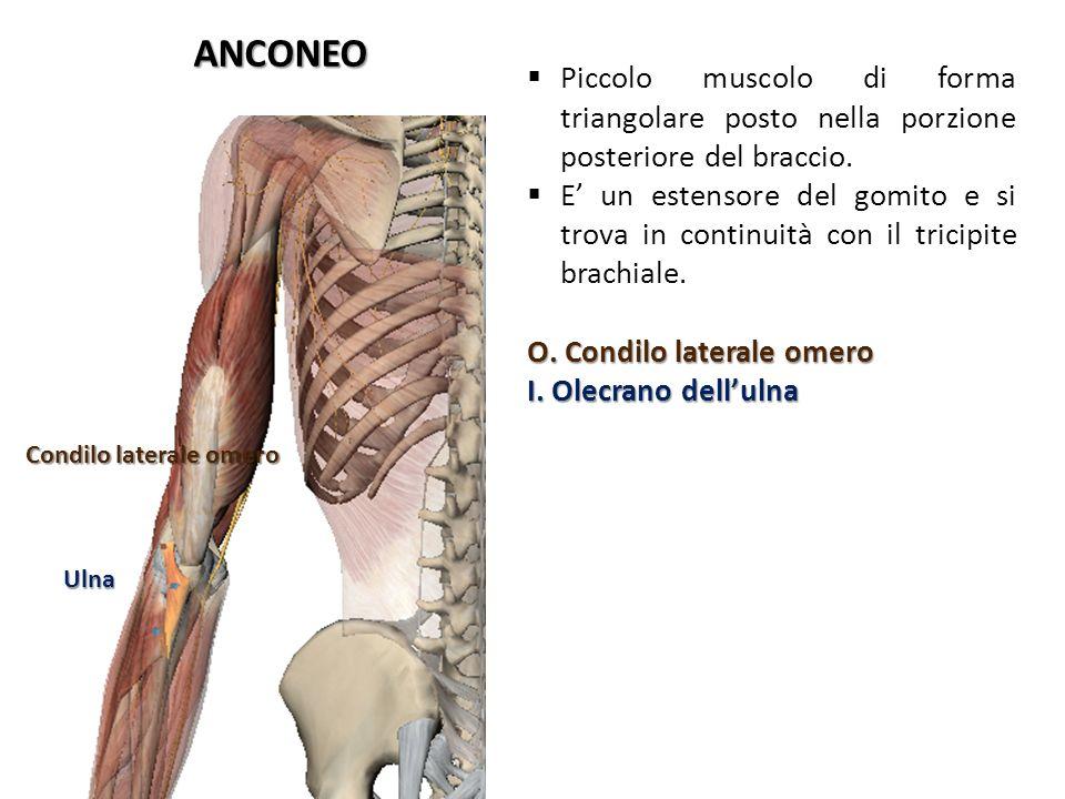 ANCONEO Condilo laterale omero Ulna Piccolo muscolo di forma triangolare posto nella porzione posteriore del braccio. E un estensore del gomito e si t