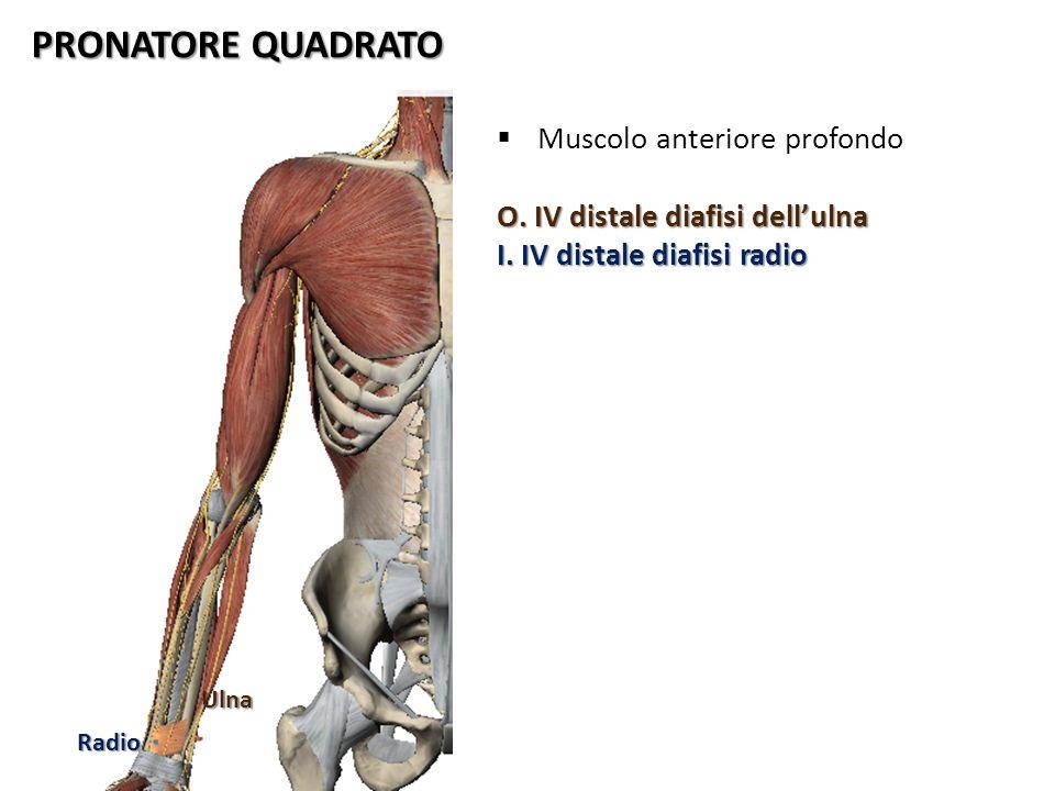 PRONATORE QUADRATO Ulna Radio Muscolo anteriore profondo O. IV distale diafisi dellulna I. IV distale diafisi radio
