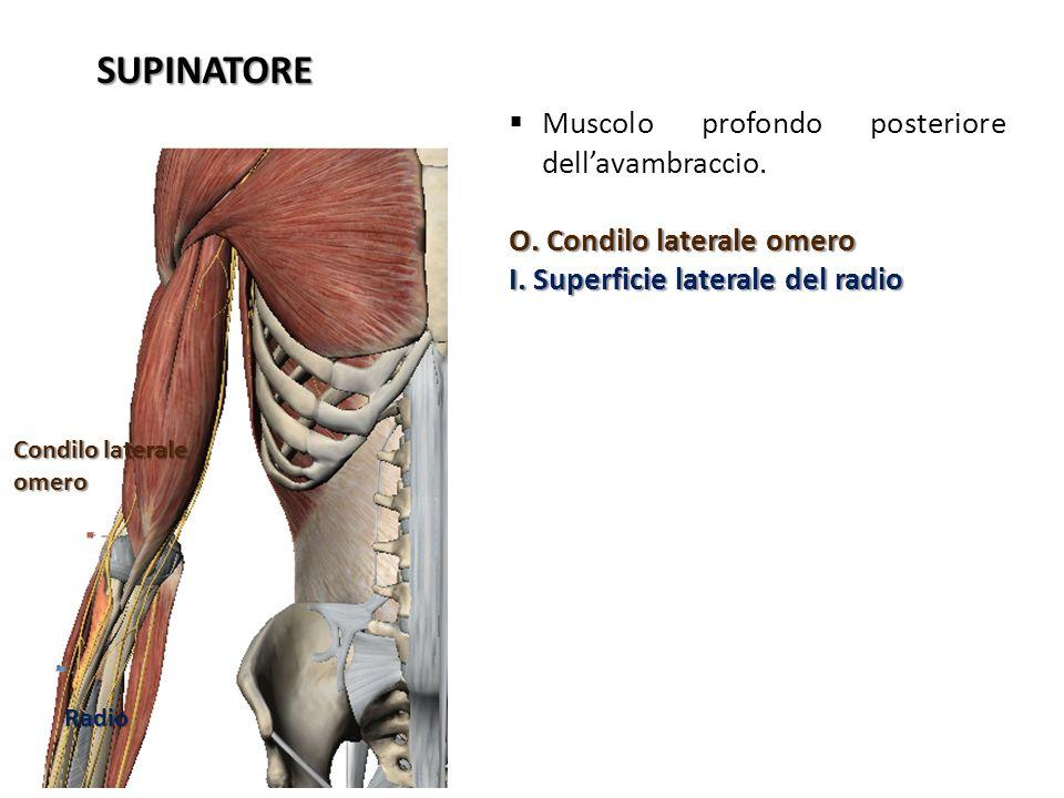 SUPINATORE Muscolo profondo posteriore dellavambraccio. O. Condilo laterale omero I. Superficie laterale del radio Condilo laterale omero Radio