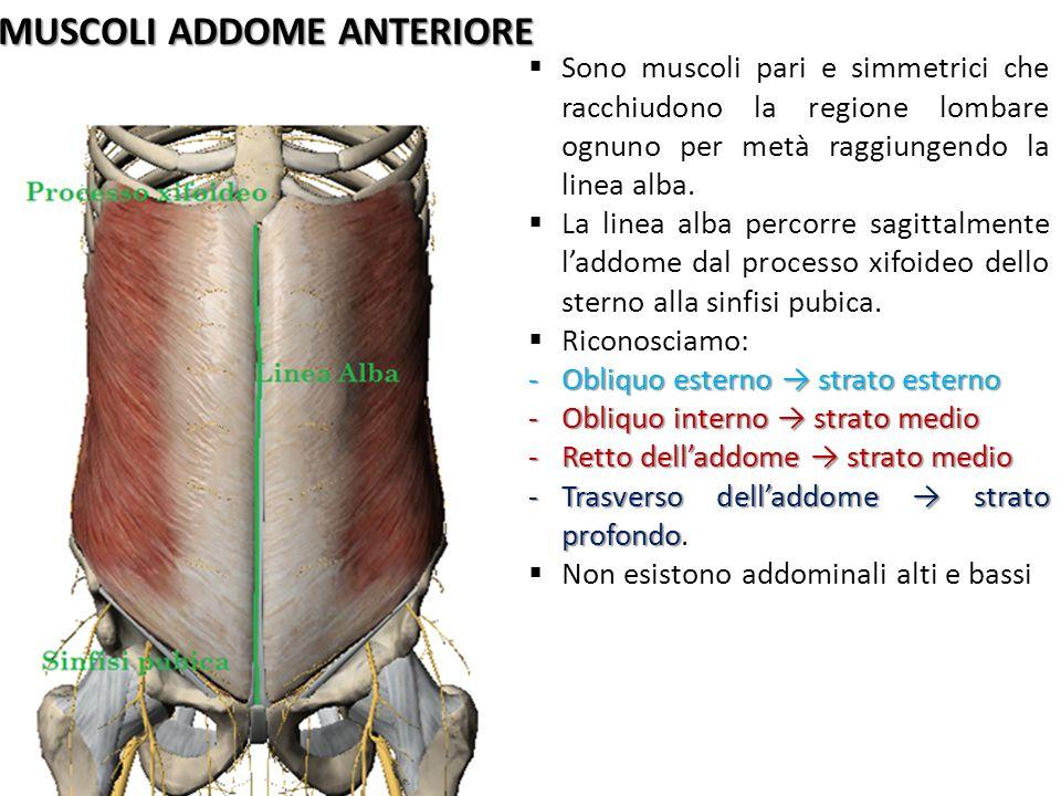 MUSCOLI ADDOME ANTERIORE Sono muscoli pari e simmetrici che racchiudono la regione lombare ognuno per metà raggiungendo la linea alba. La linea alba p