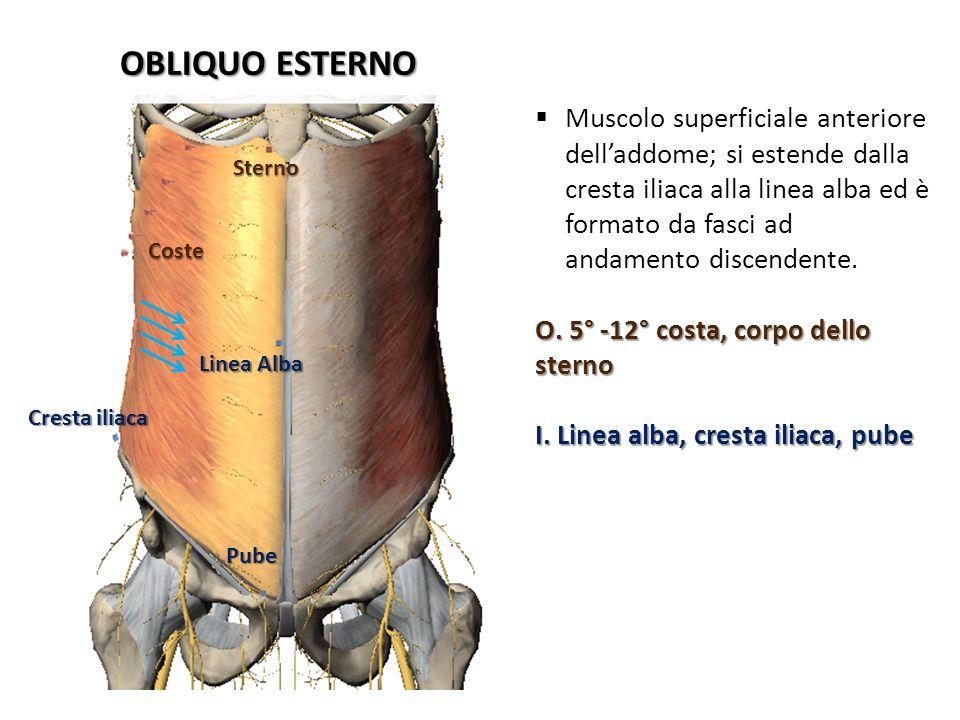 Coste Sterno Linea Alba Cresta iliaca Pube OBLIQUO ESTERNO Muscolo superficiale anteriore delladdome; si estende dalla cresta iliaca alla linea alba e