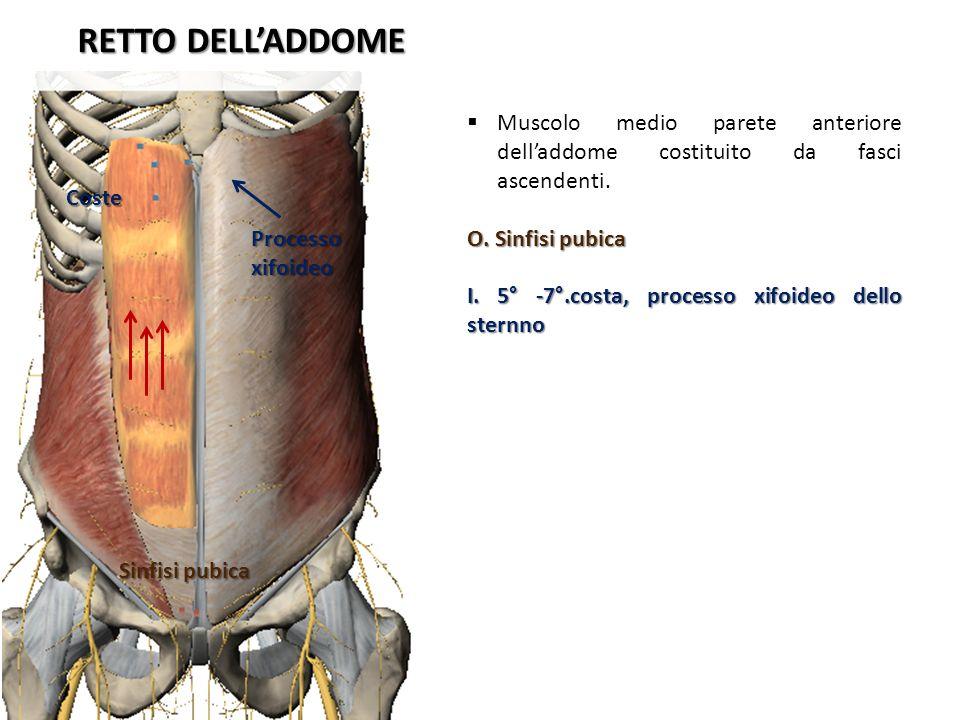 RETTO DELLADDOME Muscolo medio parete anteriore delladdome costituito da fasci ascendenti. O. Sinfisi pubica I. 5° -7°.costa, processo xifoideo dello