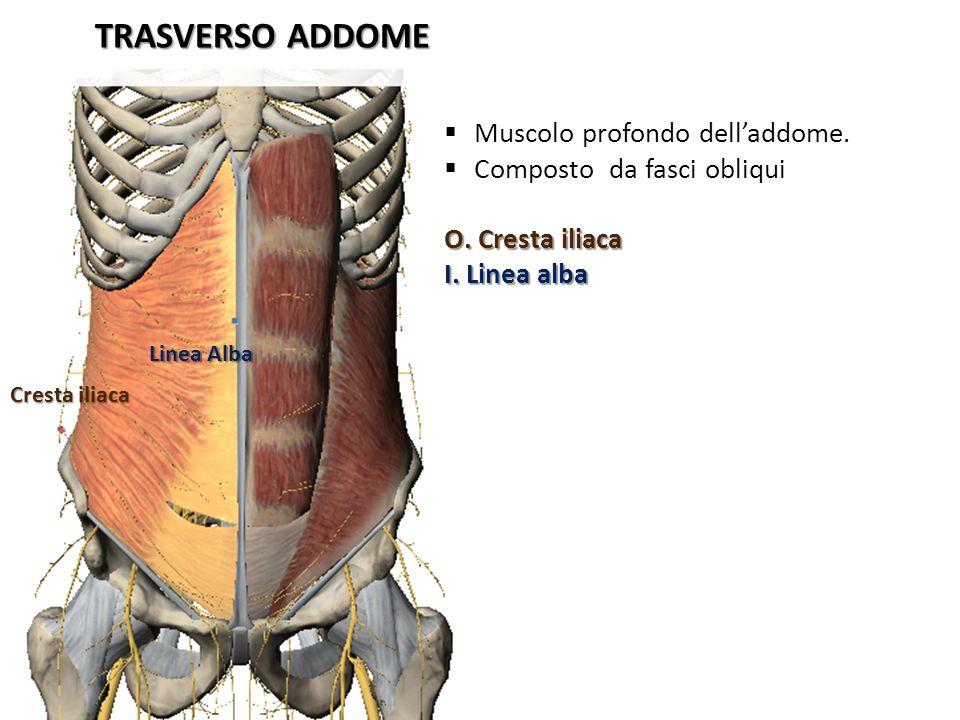 TRASVERSO ADDOME Cresta iliaca Linea Alba Muscolo profondo delladdome. Composto da fasci obliqui O. Cresta iliaca I. Linea alba