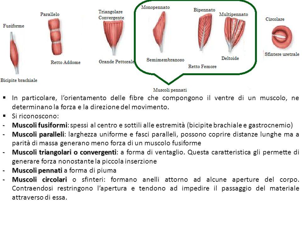 In particolare, lorientamento delle fibre che compongono il ventre di un muscolo, ne determinano la forza e la direzione del movimento. Si riconoscono