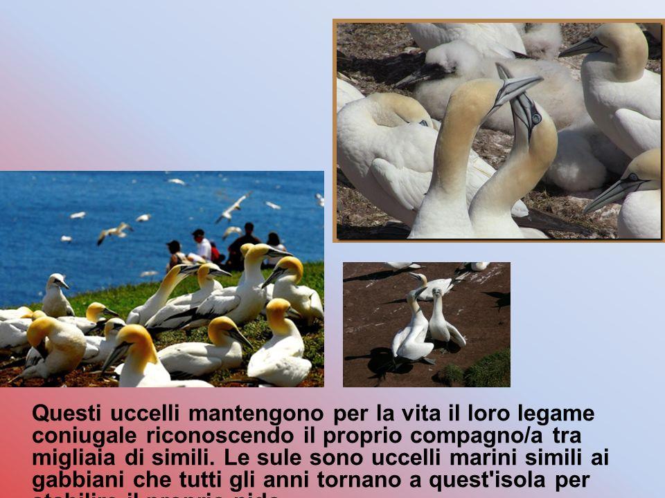 Questi uccelli mantengono per la vita il loro legame coniugale riconoscendo il proprio compagno/a tra migliaia di simili.