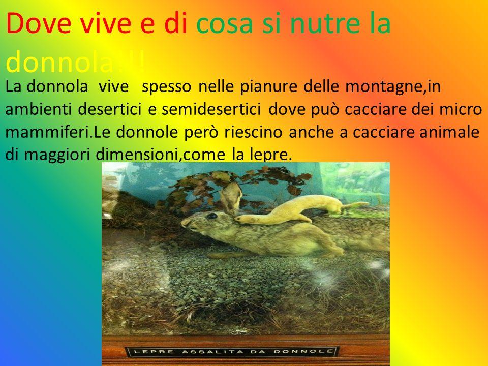 La donnola vive spesso nelle pianure delle montagne,in ambienti desertici e semidesertici dove può cacciare dei micro mammiferi.Le donnole però riescino anche a cacciare animale di maggiori dimensioni,come la lepre.