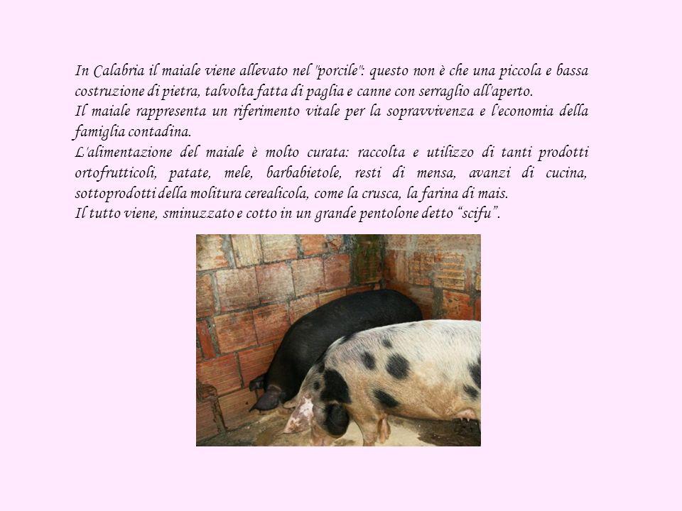 In Calabria il maiale viene allevato nel porcile : questo non è che una piccola e bassa costruzione di pietra, talvolta fatta di paglia e canne con serraglio all aperto.