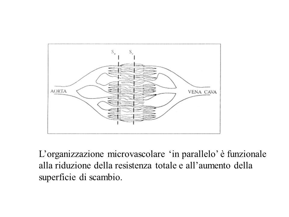 Lorganizzazione microvascolare in parallelo è funzionale alla riduzione della resistenza totale e allaumento della superficie di scambio.