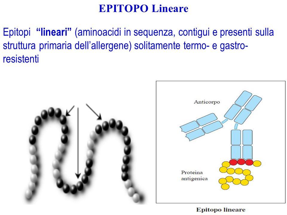EPITOPO Lineare Epitopi lineari (aminoacidi in sequenza, contigui e presenti sulla struttura primaria dellallergene) solitamente termo- e gastro- resi