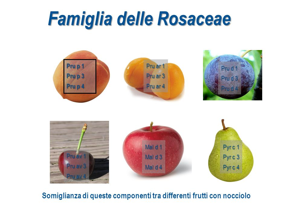 Famiglia delle Rosaceae Pru p 1 Pru p 3 Pru p 4 Pru ar 1 Pru ar 3 Pru ar 4 Mal d 1 Mal d 3 Mal d 4 Pru d 1 Pru d 3 Pru d 4 Pyr c 1 Pyr c 3 Pyr c 4 Pru