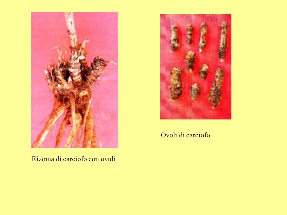 Rizoma di carciofo con ovuli Ovoli di carciofo