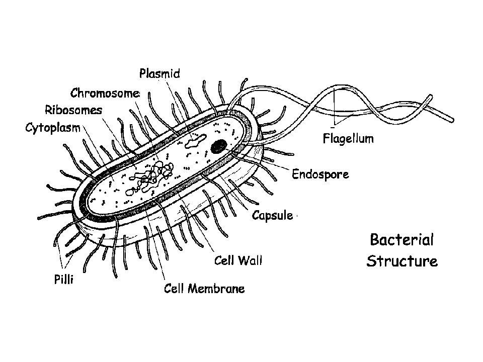 Klebsiella Polmoniti Infezioni del tratto urinario Setticemia Spondilite anchilosante Serratia Responsabile delle infezioni nosocomiali (S.
