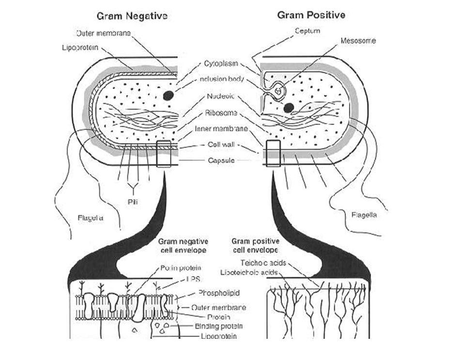 Sintomi della Gonorrea La gonorrea è causata dal batterio Neisseria gonorrhoeae.Il periodo di incubazione è di 10/20 giorni con comparsa dei sintomi tra il 15 e il 20 giorno dopo linfezione.