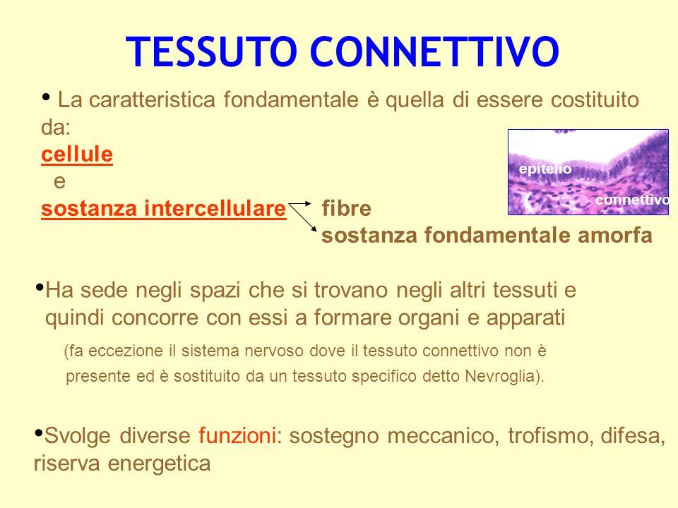 La caratteristica fondamentale è quella di essere costituito da: cellule e sostanza intercellulare fibre sostanza fondamentale amorfa TESSUTO CONNETTI