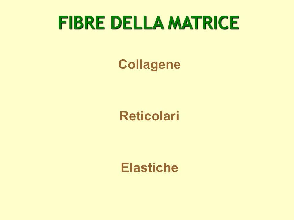 FIBRE DELLA MATRICE Collagene Reticolari Elastiche