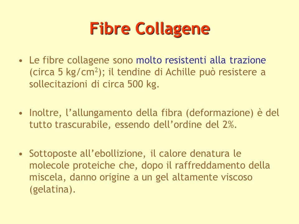 Fibre Collagene Le fibre collagene sono molto resistenti alla trazione (circa 5 kg/cm 2 ); il tendine di Achille può resistere a sollecitazioni di cir