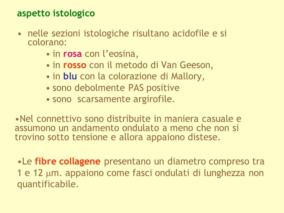 aspetto istologico nelle sezioni istologiche risultano acidofile e si colorano: in rosa con leosina, in rosso con il metodo di Van Geeson, in blu con