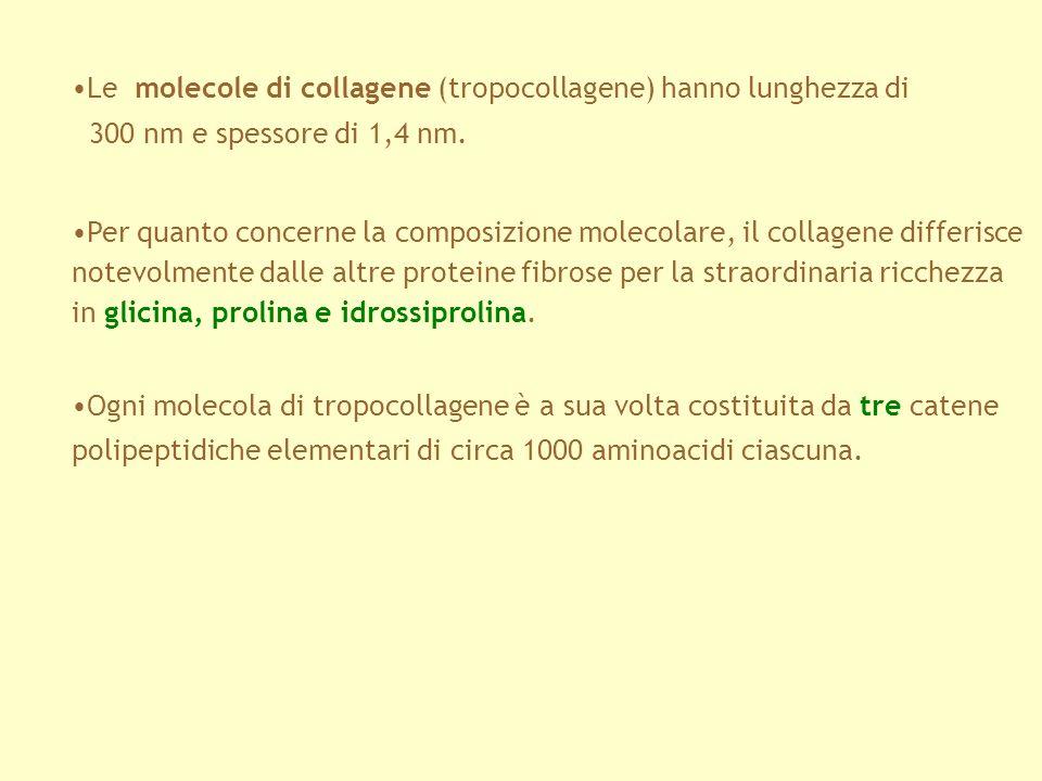 Le molecole di collagene (tropocollagene) hanno lunghezza di 300 nm e spessore di 1,4 nm. Per quanto concerne la composizione molecolare, il collagene