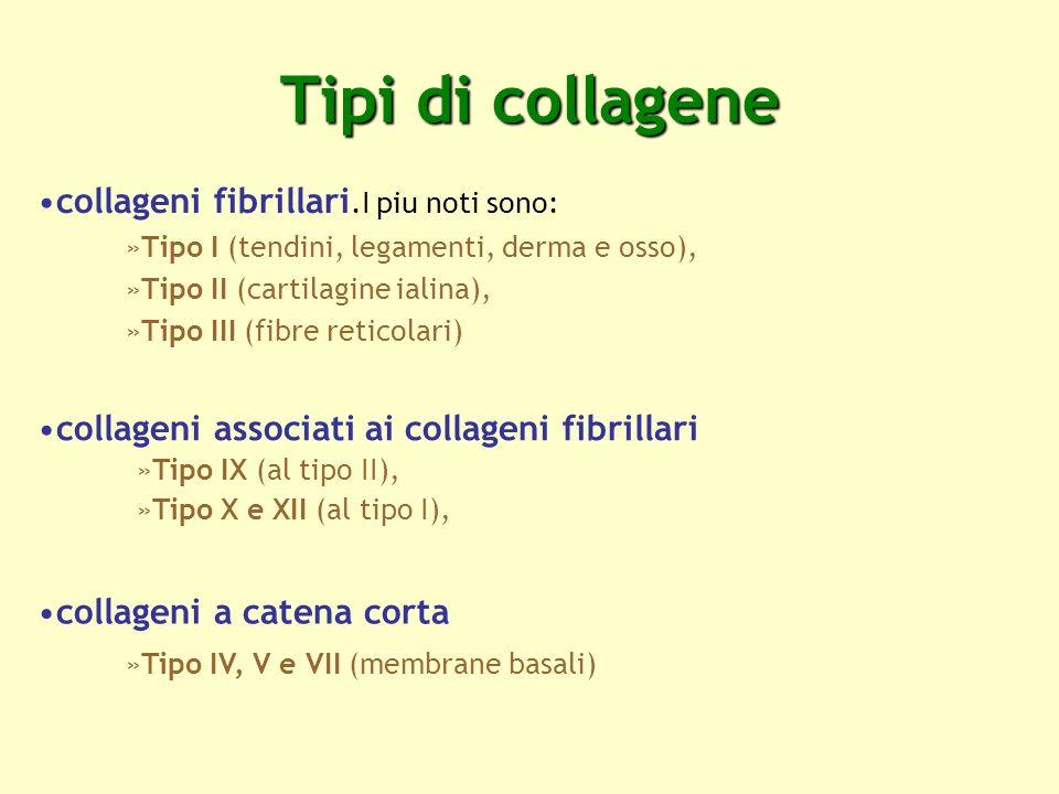 Tipi di collagene collageni fibrillari.I piu noti sono: »Tipo I (tendini, legamenti, derma e osso), »Tipo II (cartilagine ialina), »Tipo III (fibre re