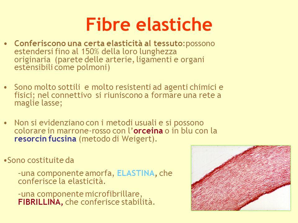 Fibre elastiche Conferiscono una certa elasticità al tessuto:possono estendersi fino al 150% della loro lunghezza originaria (parete delle arterie, li