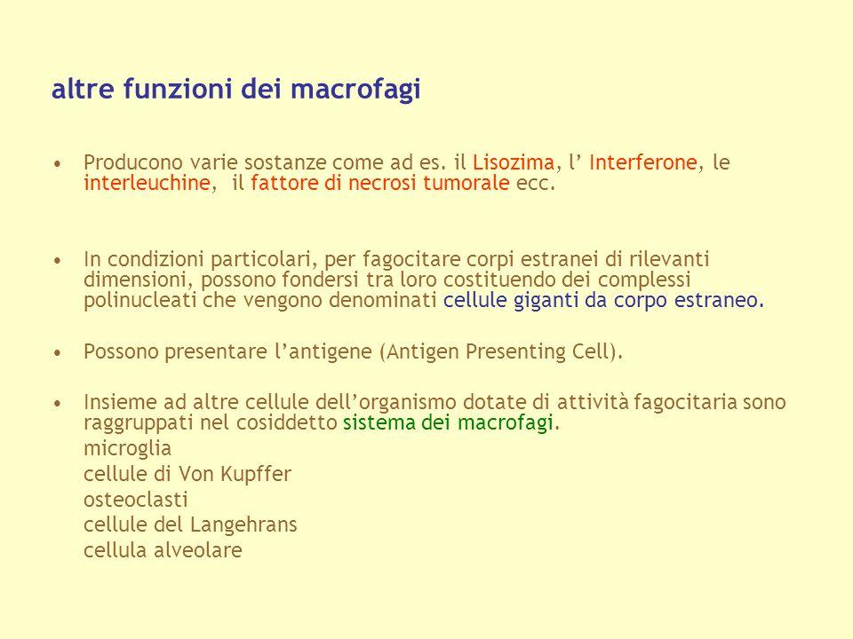 altre funzioni dei macrofagi Producono varie sostanze come ad es. il Lisozima, l Interferone, le interleuchine, il fattore di necrosi tumorale ecc. In