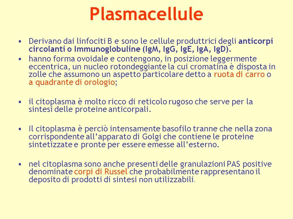 Plasmacellule Derivano dai linfociti B e sono le cellule produttrici degli anticorpi circolanti o Immunoglobuline (IgM, IgG, IgE, IgA, IgD). hanno for