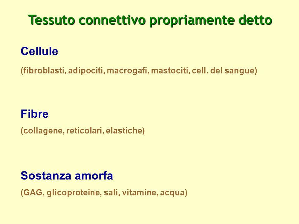 Tessuto connettivo propriamente detto Cellule (fibroblasti, adipociti, macrogafi, mastociti, cell. del sangue) Fibre (collagene, reticolari, elastiche