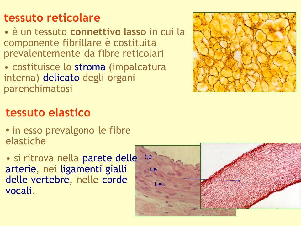 tessuto reticolare è un tessuto connettivo lasso in cui la componente fibrillare è costituita prevalentemente da fibre reticolari costituisce lo strom