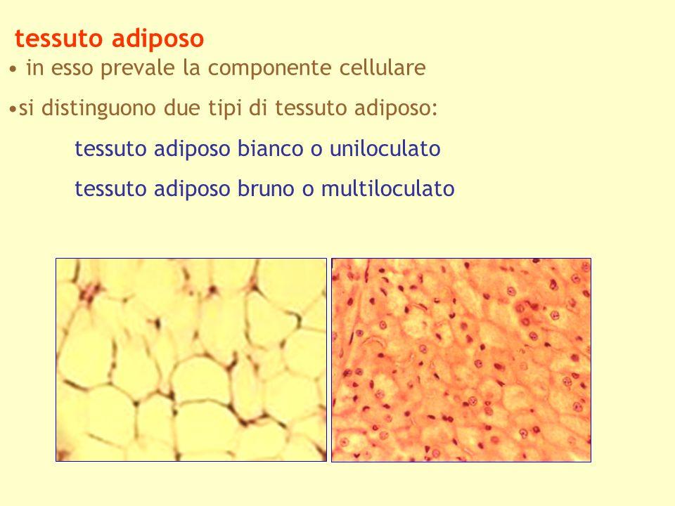 tessuto adiposo in esso prevale la componente cellulare si distinguono due tipi di tessuto adiposo: tessuto adiposo bianco o uniloculato tessuto adipo