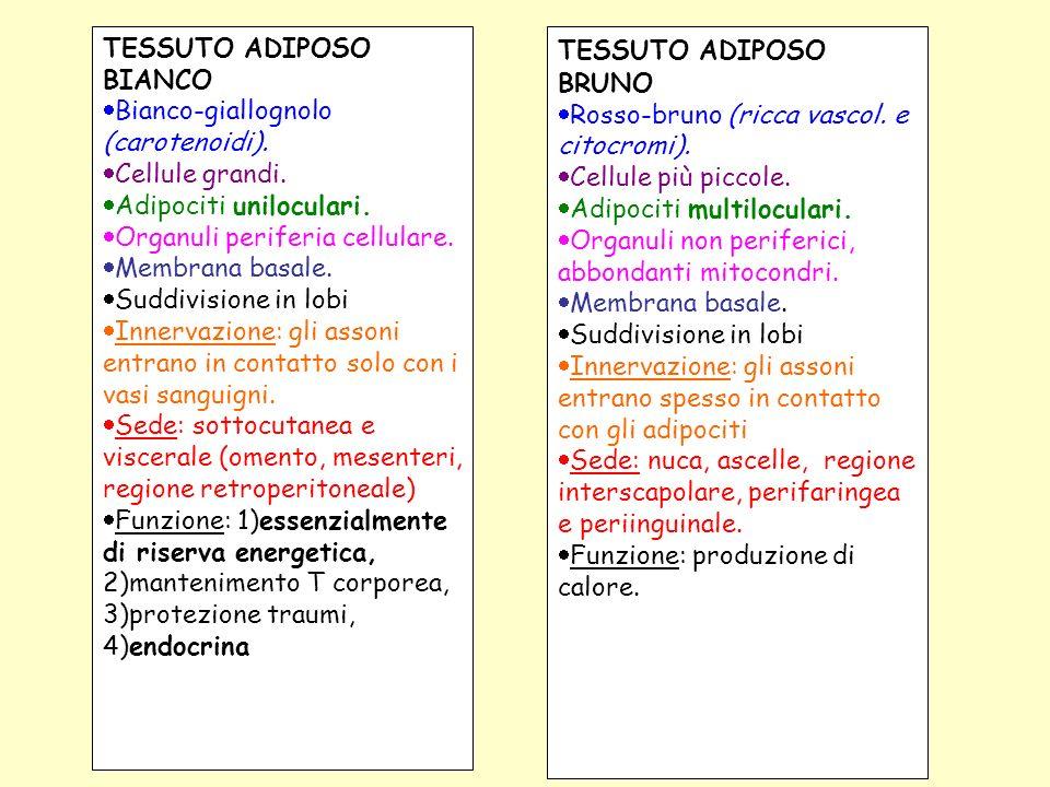 TESSUTO ADIPOSO BIANCO Bianco-giallognolo (carotenoidi). Cellule grandi. Adipociti uniloculari. Organuli periferia cellulare. Membrana basale. Suddivi