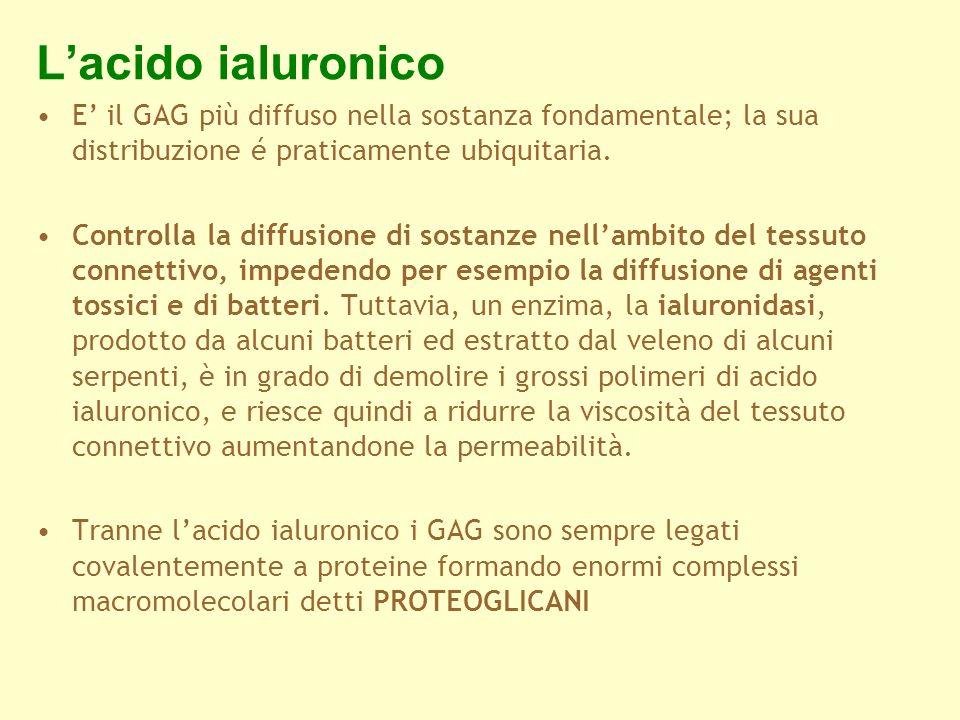 Lacido ialuronico E il GAG più diffuso nella sostanza fondamentale; la sua distribuzione é praticamente ubiquitaria. Controlla la diffusione di sostan