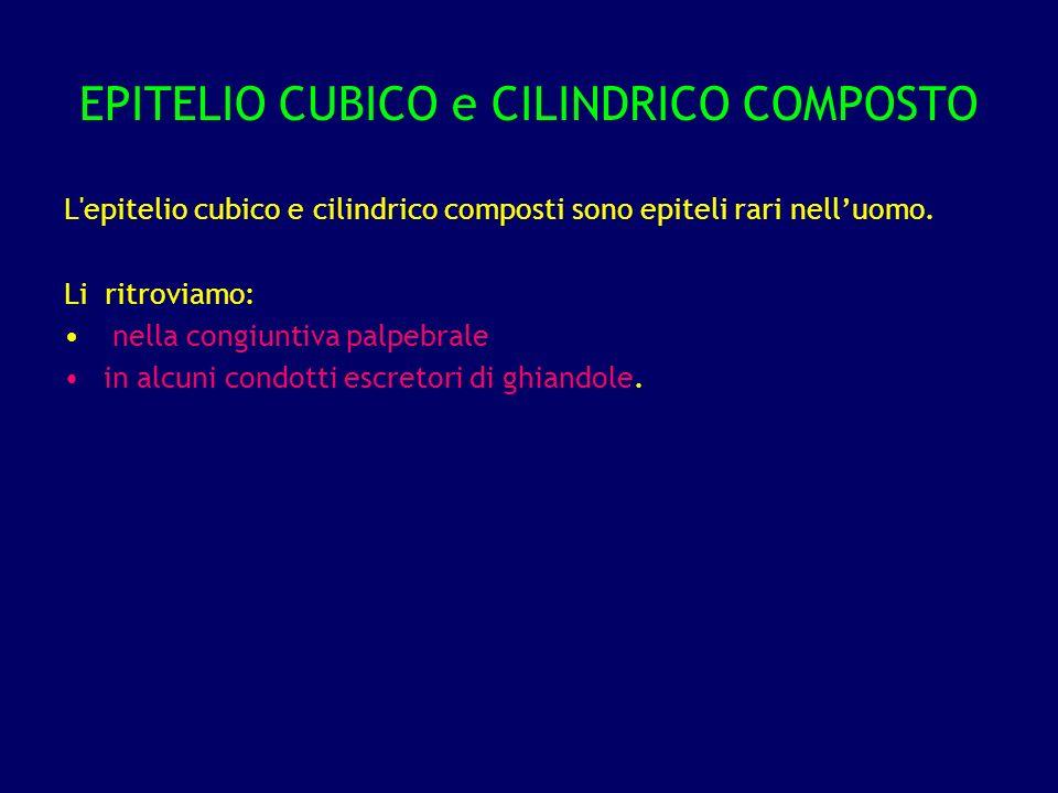 EPITELIO CUBICO e CILINDRICO COMPOSTO L'epitelio cubico e cilindrico composti sono epiteli rari nelluomo. Li ritroviamo: nella congiuntiva palpebrale