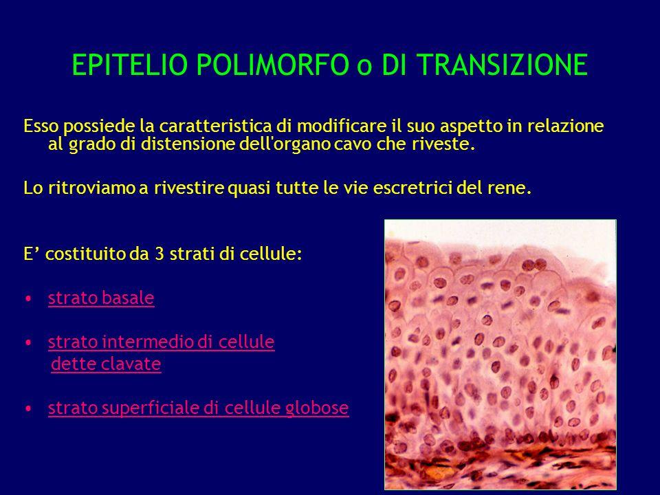 EPITELIO POLIMORFO o DI TRANSIZIONE Esso possiede la caratteristica di modificare il suo aspetto in relazione al grado di distensione dell'organo cavo