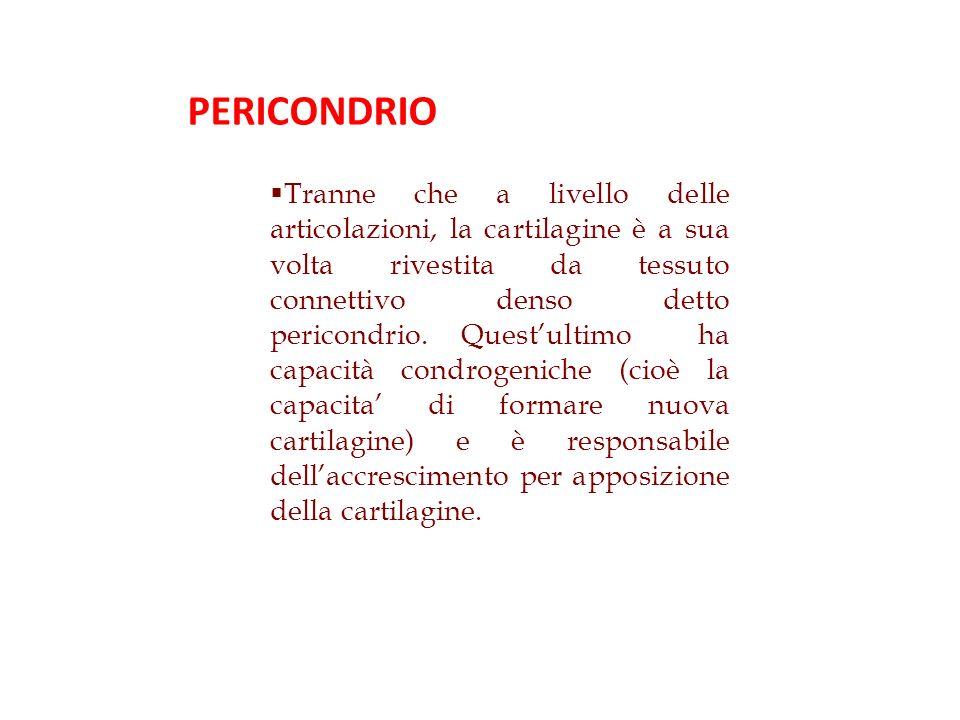 Tranne che a livello delle articolazioni, la cartilagine è a sua volta rivestita da tessuto connettivo denso detto pericondrio.