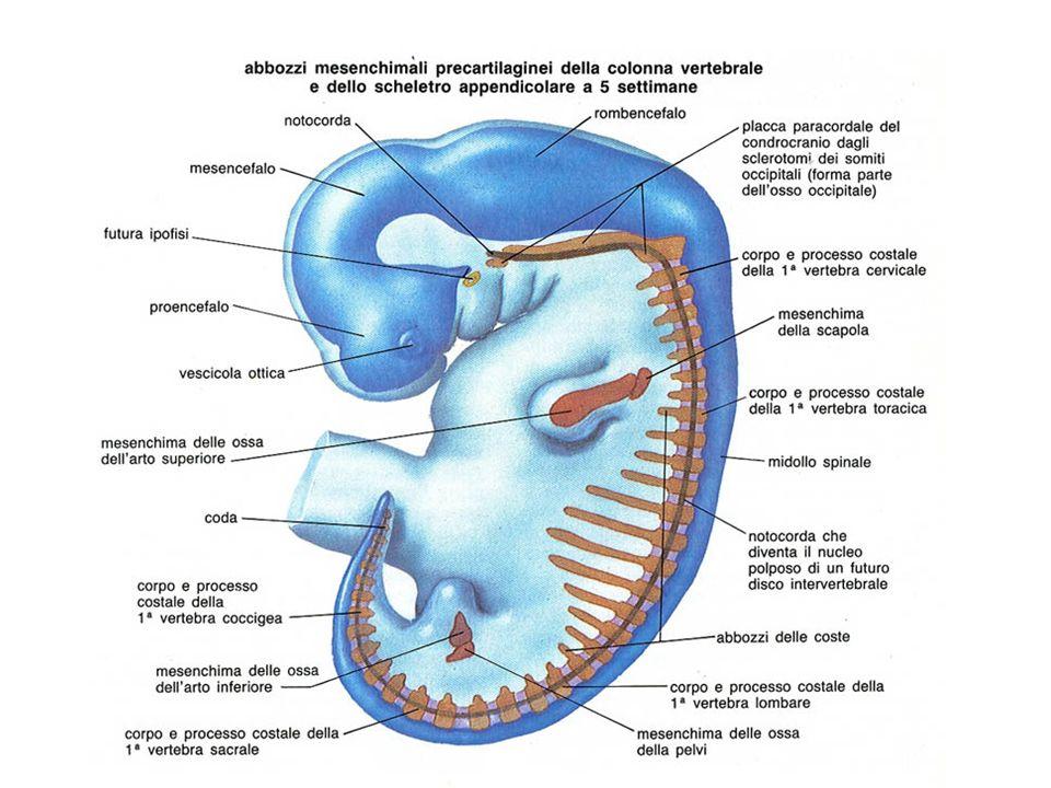 Nei Mammiferi, lo scheletro nasce come abbozzo cartilagineo che viene successivamente sostituito dallosso.