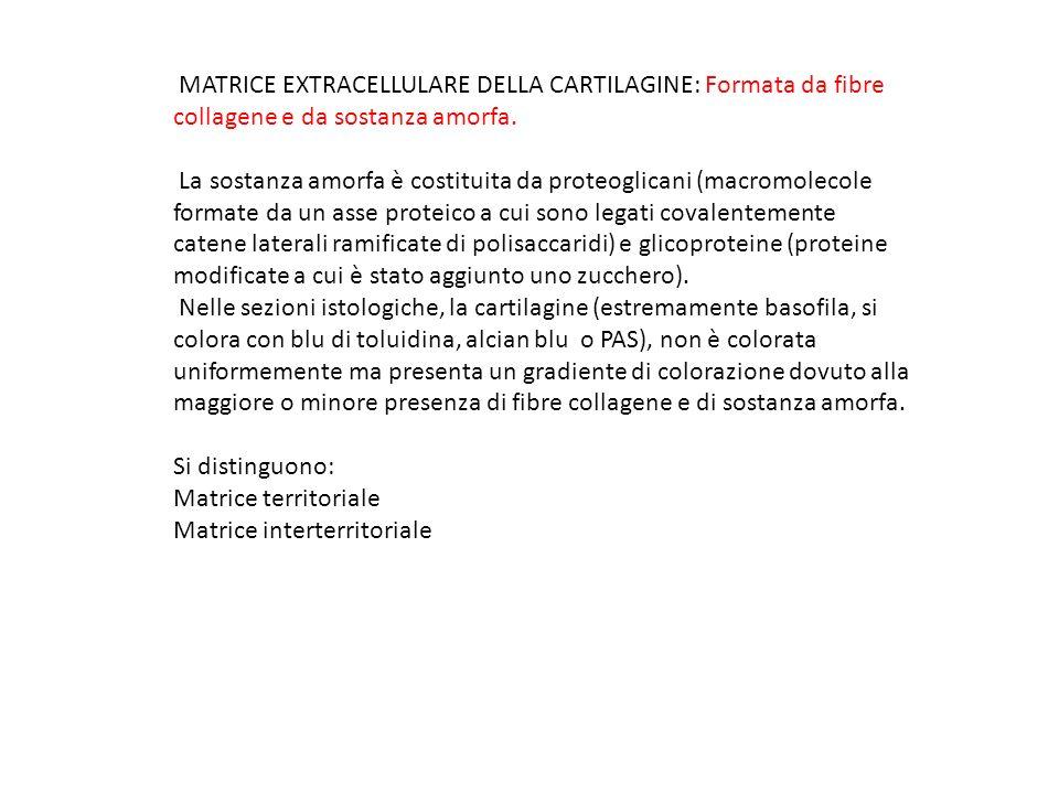 MATRICE EXTRACELLULARE DELLA CARTILAGINE: Formata da fibre collagene e da sostanza amorfa. La sostanza amorfa è costituita da proteoglicani (macromole