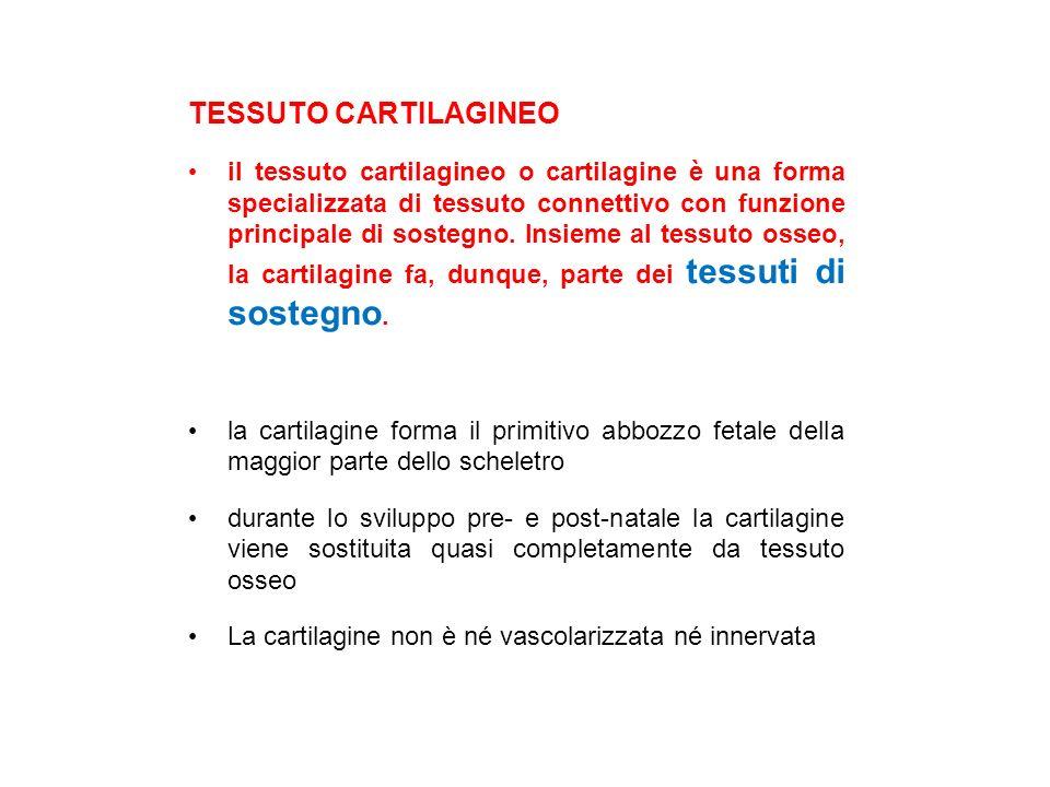 TESSUTO CARTILAGINEO il tessuto cartilagineo o cartilagine è una forma specializzata di tessuto connettivo con funzione principale di sostegno.