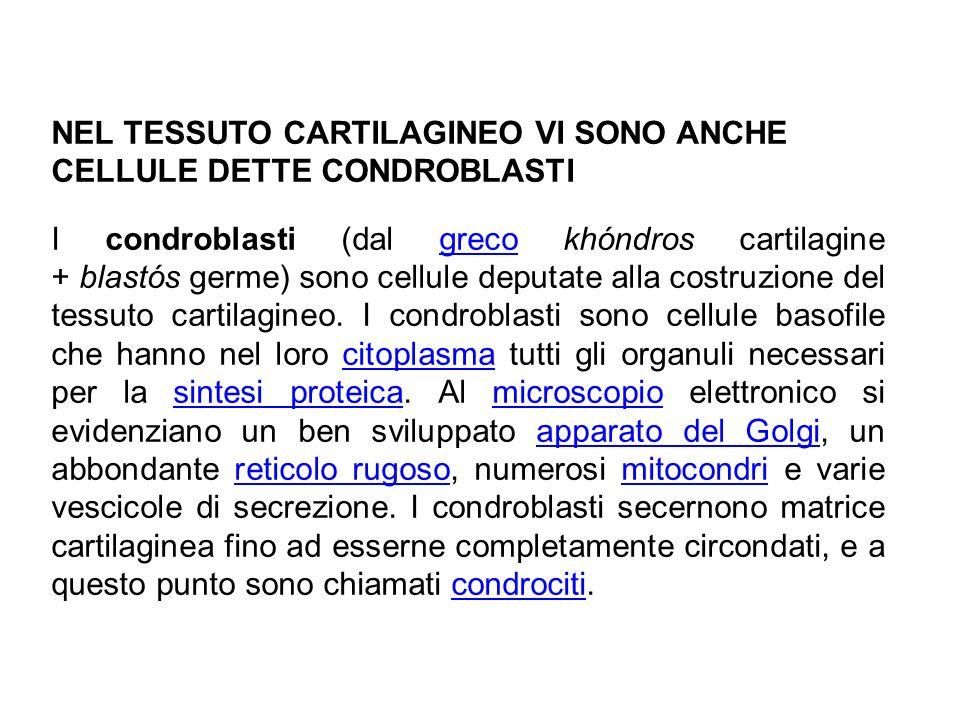 NEL TESSUTO CARTILAGINEO VI SONO ANCHE CELLULE DETTE CONDROBLASTI I condroblasti (dal greco khóndros cartilagine + blastós germe) sono cellule deputate alla costruzione del tessuto cartilagineo.