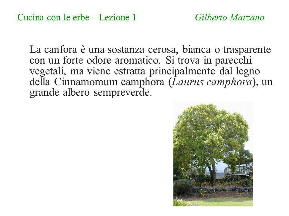 Cucina con le erbe – Lezione 1 Gilberto Marzano La canfora è una sostanza cerosa, bianca o trasparente con un forte odore aromatico.